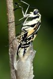 Common Swallowtail Chrysalis