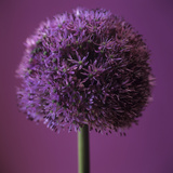 Allium Flower (Allium Sp)