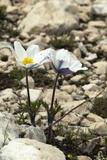 Alpine Pasque Flower (Pulsatilla Alpina)