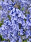 Bluebells (Hyacinthoides Hispanica)