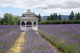 Lavender Field  USA