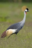 Southern Crowned Crane