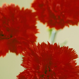 Pinks (Dianthus Sp)