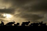 Eland Antelope Herd