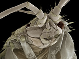 Head of a Freshwater Shrimp  SEM