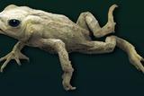 Common Toad  SEM