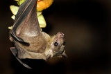 Egyptian Rousette Bat