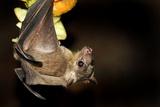Egyptian Rousette Bat