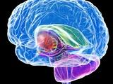 Brain Anatomy  Artwork