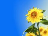 Sunflowers  Artwork