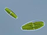 Green Alga  Light Micrograph