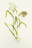 Proso Millet (Panicum Miliaceum)  Artwork