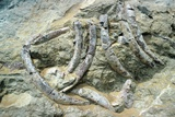 Fossilised Sea Cow Bones