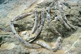 Fossilised Sea Cow Bones