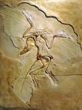Archaeopteryx Fossil  Berlin Specimen