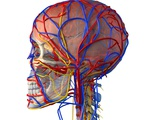 Circulatory System And Brain  Artwork