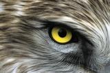 Short-toed Eagle Eye