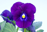 Purple Pansy (Viola Sp)