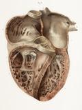 Heart Anatomy  19th Century Illustration