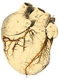 Heart Anatomy  18th Century