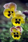 Pansies (Viola Wittrockiana)