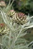 Artichoke (Cynara Scolymus) Flowers