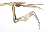 Praying Mantis Head And Forelegs