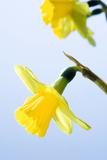 Daffodil (Narcissus Sp)