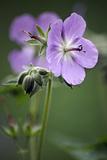 Geranium (Geranium Eriostemon)