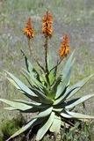 Bitter Aloe (Aloe Ferox)