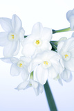 Paperwhite Daffodils (Narcissus Sp)