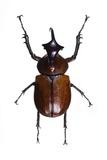 Golofa Scarab Beetle