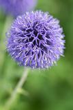 Allium Flower (Allium Sp)