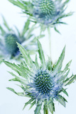 Sea Holly (Eryngium Sp)