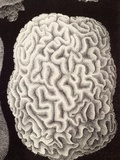 Brain Coral  Artwork
