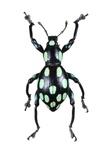 Pachyrhynchus Weevil