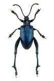 Frog Beetle