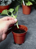 Planting a Geranium Cutting