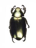 Chrysina Scarab Beetle