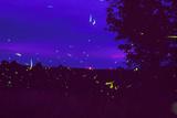 Fireflies Over Bean Fields In Iowa