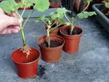 Planting Geranium Cuttings
