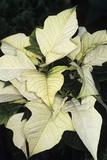 Poinsettia (Euphorbia Pulcherrima)