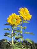 Sunflowers (Helianthus Sp)