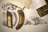 1838 Toxodon Teeth & Figs From Darwin C