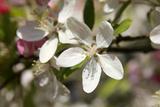 Crabapple Blossom (Malus Sp)