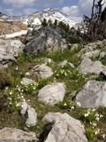 Wild Snowdrop (Galanthus Elwesii)