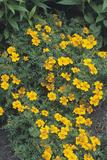 Marigolds (Tagetes 'Tangerine Gem')