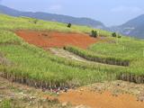 Sugar Cane Harvest