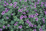 Geranium 'Sue Crug' Flowers