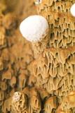 Dry Rot Fungus